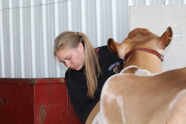 Making sure the cow is perfect.